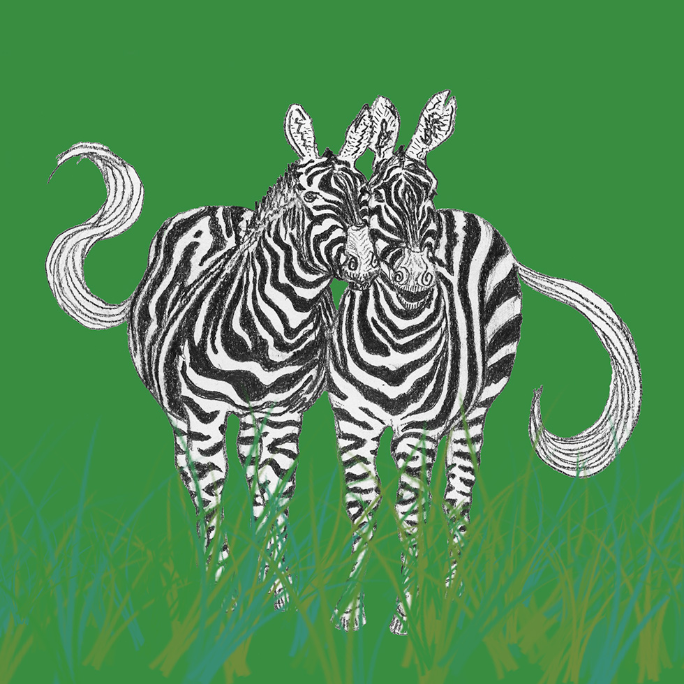 Two zebras drawn with pencil placed on a green background.